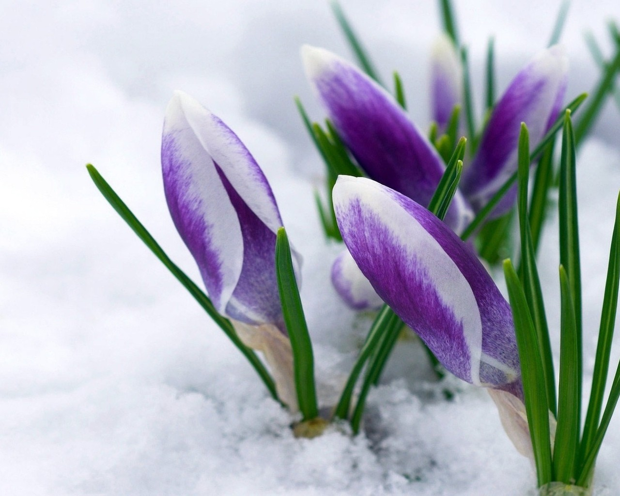 симпатичны фото с первым днем весны подснежники декорация украсит горшок